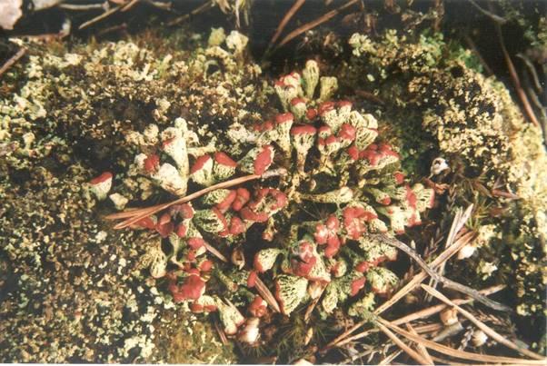 Cladonia incrassata